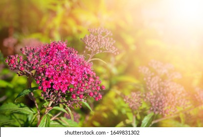 Nature Background concept. Blooming Japanese spiraea in the summer garden. Spiraea Japonica Genpei (Shirobana) is a plant in the family Rosaceae