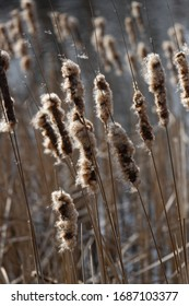 nature background: dry cattail in river