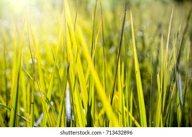 Nature background, green leaves of rice in the morning with water drop and sunlight. Blurred bokeh effect