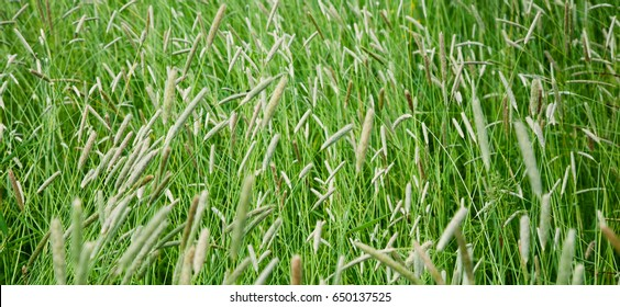 Nature Background of a green Phleum grass. Field with a high Timothy grass with selective focus. Wide Screen Web banner With Copy Space