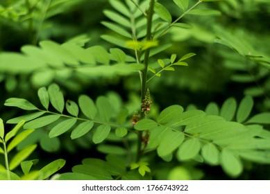 Nature Background, Indigofera tree, Indigo (Karm) in the garden from Thailand