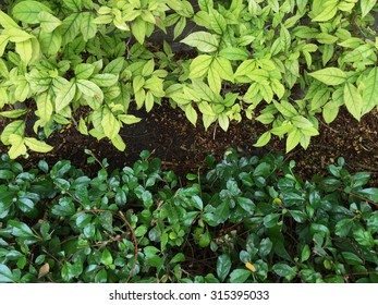 Nature Background of a Leafy Green Garden Hedge