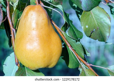 Nature background with pear fruit closeup on tree branch