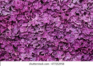 Nature background of purple  lilac flowers