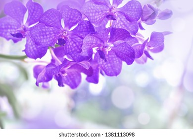 Nature background of purple vanda orchid flowers in the garden during summer day with sunlight and blur bokeh background.