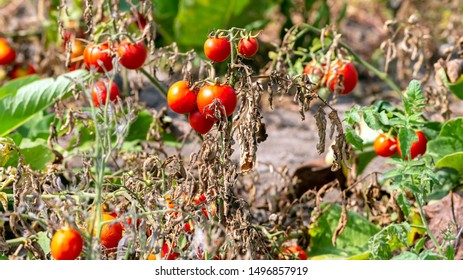 Nature background with red tomatoes