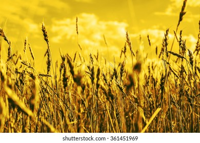 Nature background. Ripe wheat. Blue sky and white clouds