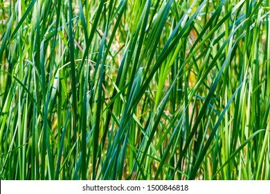 Nature background with sedge grass closeup