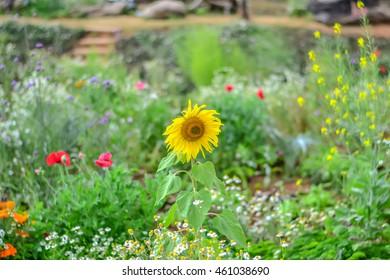 Nature background, sunflower
