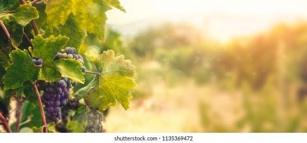 Naturhintergrund mit Weinberg im Herbst. Im Herbst reifen Trauben.