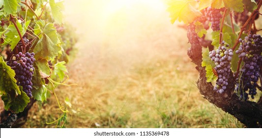 Nature background with Vineyard in autumn harvest. Ripe grapes in fall.