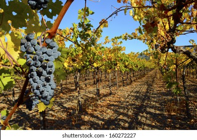 Nature background with Vineyard in autumn harvest. Ripe grapes in fall