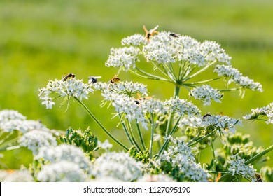 Nature background with Wasps on white caraway flower. White flowering plant, Caraway or meridian fennel or Persian cumin or Carum carvi