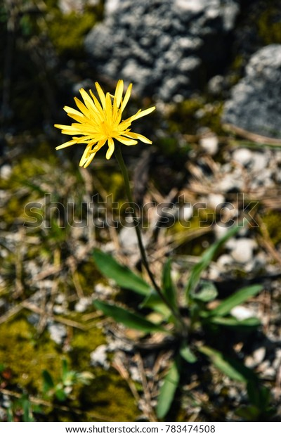 nature background yellow flower on the rock