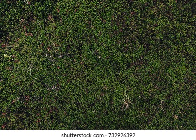 Nature Backgrounds. Natural Mountain Vegetation Closeup Background. Grows in the Mountains-Hills at an Altitude of 650 Meters, near the town of Kandalaksha in the Kola Peninsula in Russia
