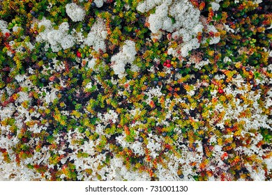 Nature Backgrounds. Natural Mountain White Moss with Crowberries and Cowberries Closeup Background. Grows in the Mountains-Hills near the Town of Kandalaksha in the Kola Peninsula in Russia
