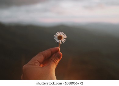 Nature backgrounds,hand give,give,daisy flowers ,mini flowers, hand flowers, love,nature, natural,grass ,bloom,field,beauty