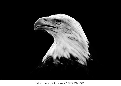Nature black and white art. Portrait of brown bird of prey with white head and yellow bill, symbol of freedom of the United States of America. Bald Eagle, Haliaeetus leucocephalus.