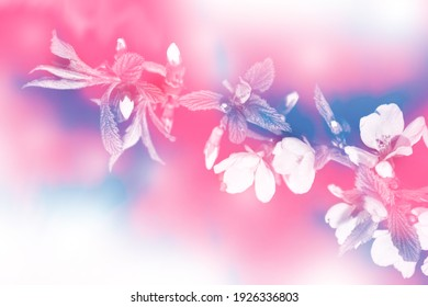 nature. Blossoming branch apple. Bright colorful spring flowers