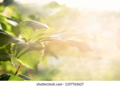 Nature blurred bokeh background. New leaf on branch on spring sunny light  Defocus summer day vintage toned. Springtime concept.