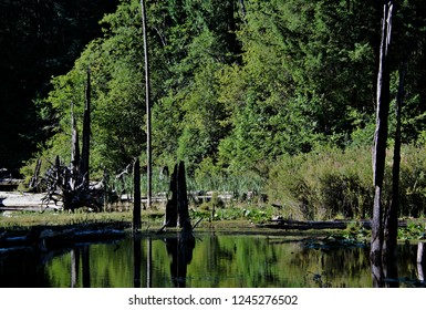 Nature capture of calm lake surface perfect environment for the bordering forest tree background mirror reflection in water blend of uprooted decaying trees silhouette burnt emerging tree trunk tops