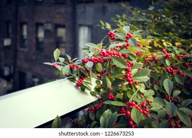 Nature in the city. Close-up of a green bushy with red fruit on the wall. In background a blurred old brick façade. Saturated colors, sunlight.