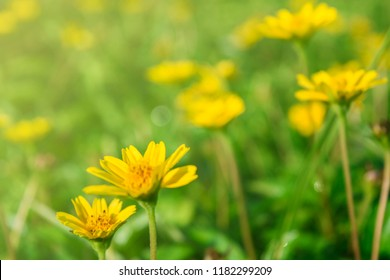 Nature closeup yellow flower field for background