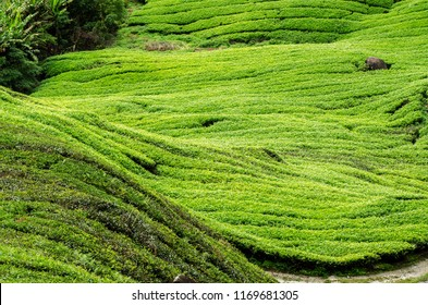 Nature composition, beautiful scenery of tea plantation located in Cameron Highland, Malaysia