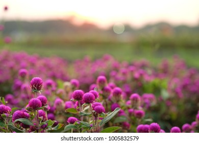 Nature concept : Closeup Purple flower in garden under sunlight with copy space using as background or wallpaper. (Globe Amaranth)