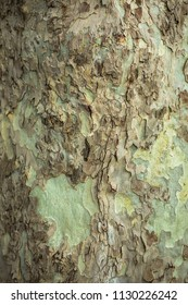 Nature design of old maple trunk