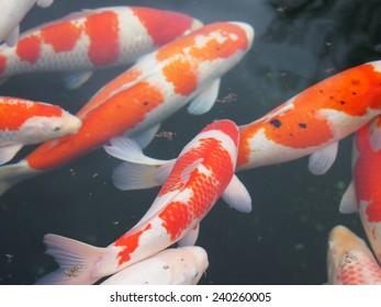 nature fish swimming in water