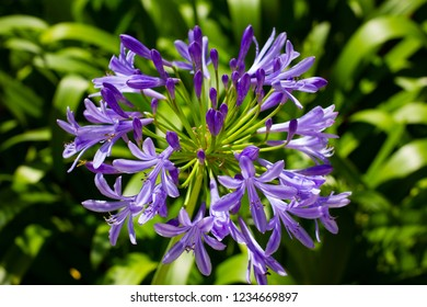 Nature. A flower of agapanthus (Agapanthus africanus) in the foreground. Behind other unfocused flowers. Europe. France.