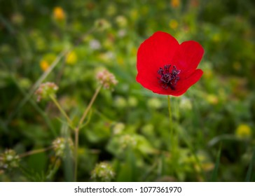 Poppy photography images stock photos vectors shutterstock nature and flower photography poppy in a spring field mightylinksfo Choice Image