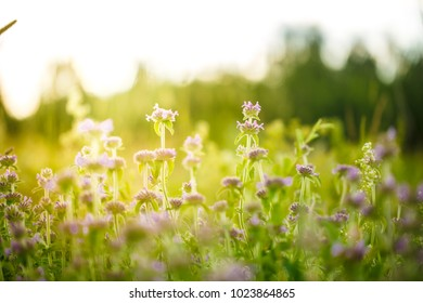 Nature. Flowers in field at mornig sunrise