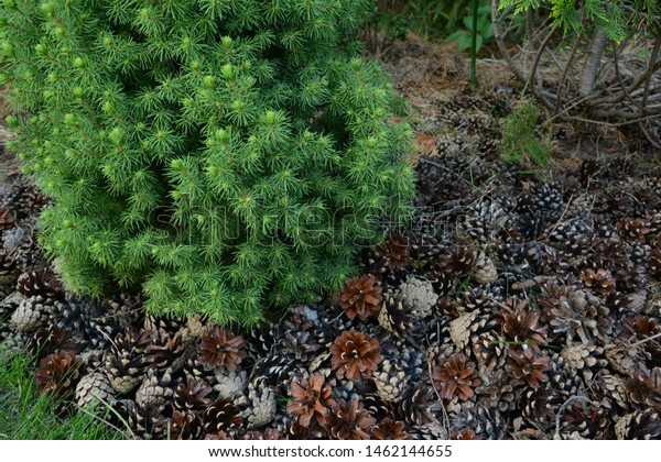Nature Forest Background Green Moss Cones Stock Photo Edit Now