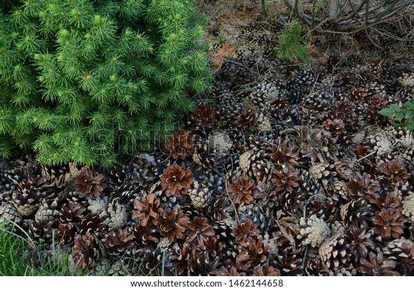 Nature Forest Background Green Moss Cones Royalty Free Stock Image