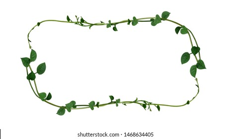 Nature frame layout of heart shaped green succulent leaves climbing vine plant Malabar spinach or Creeping vine spinach (Basella alba) isolated on white background, clipping path included.