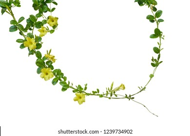 Nature frame of twisted climbing vines with glossy green leaves and yellow flowers of Yellow Allamanda or common trumpet vine the ornamental flowering plant isolated on white background, clipping path