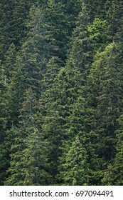 Nature green background, pine tree forest in Carpathians.