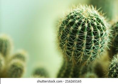 Nature green background or wallpaper: domestic cactus closeup.