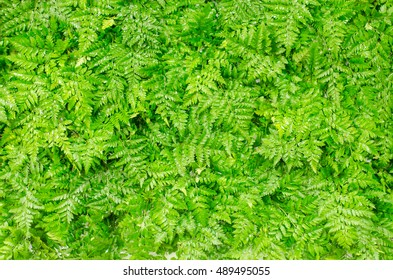 Nature Green Fresh Serpent Fern Background