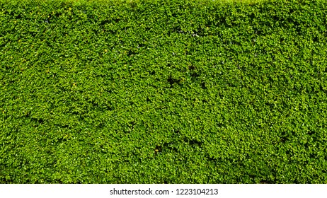 Nature green leaf background and textured, Leaves wall or hedge for backdrop, Green leaf in nature for backdrop