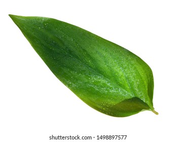 Nature green leaf with water drops isolated on white background