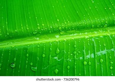 Nature green vivid banana leaf pandan water splash wet clear closeup macro raindrop dew transparent texture background raining season fresh natural garden park herbs spa relax