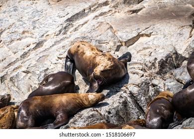 Nature of Kamchatka: rookery Steller Sea Lion or Northern Sea Lion (Eumetopias Jubatus).