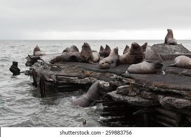 Nature of Kamchatka: rookery Steller Sea Lion or Northern Sea Lion (Eumetopias Jubatus). Avachinskaya Bay, Petropavlovsk-Kamchatsky City, Kamchatka Peninsula, Russian Far East