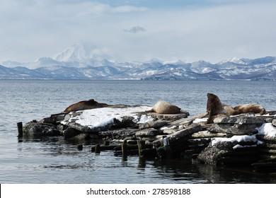 Nature of Kamchatka: rookery Steller Sea Lion or Northern Sea Lion (Eumetopias Jubatus). Avachinskaya Bay, Petropavlovsk-Kamchatsky City, Kamchatka Peninsula, Russia.