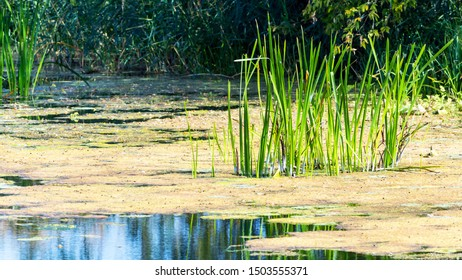 Nature lake landscape with sedge and duckweed grass