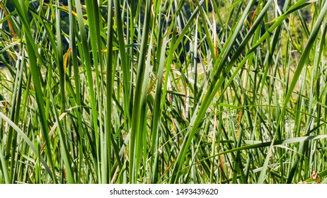 Nature landscape with reed grass on foreground