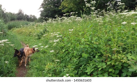 Nature landscape with various types of flowering wild plants and two dogs on the Zegersloot golf course at Alphen aan den Rijn in the Netherlands